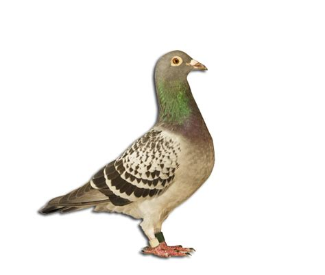 homing and racing pigeons from racing stock