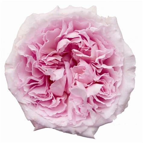 16 best images about david austin roses on pinterest