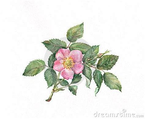 briar rose tattoo 24 best images about briar on watercolour