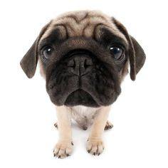 the artlist collection pug artlist collection the pug when you talk all i hear is blah blah blah