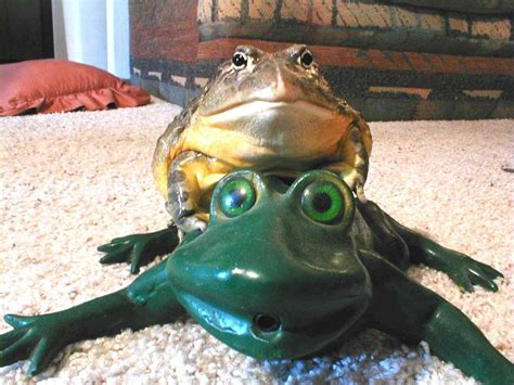 pet frogs related keywords pet frogs long tail keywords