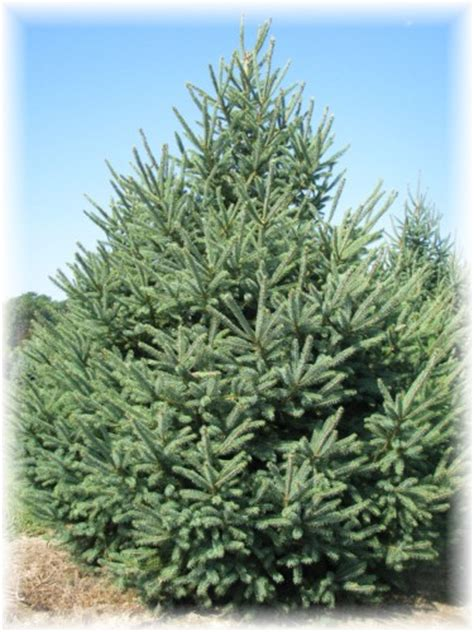 Home Design Wholesale by Wholesale Conifer Trees For Indiana Landscapers