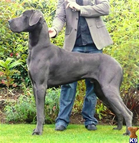 great dane puppies colorado blue great dane puppies 29888