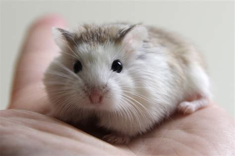 the gallery for gt roborovski hamster