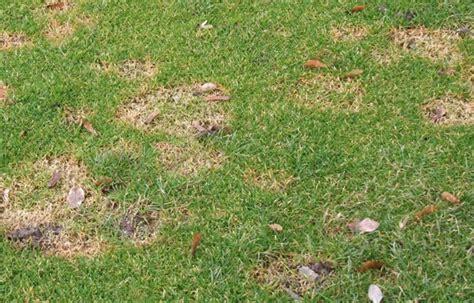 Pilze Im Rasen Anzeichen by Sommerpilz Im Rasen
