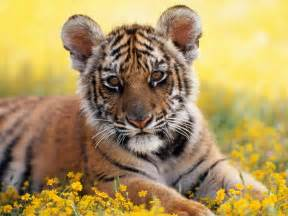 Pictures of baby tigers pictures of baby animals baby tigers baby