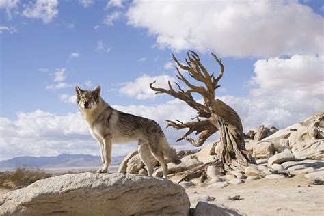 A Is For Alpha wolf dogs lend genuine emotional weight to epic adventure