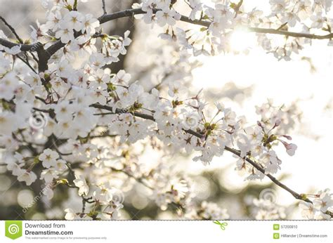 Cherry White white cherry blossom branch photography www imgkid