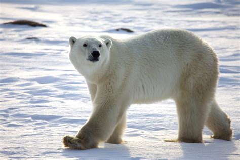 why are polar bears endangered challenges polar bears face