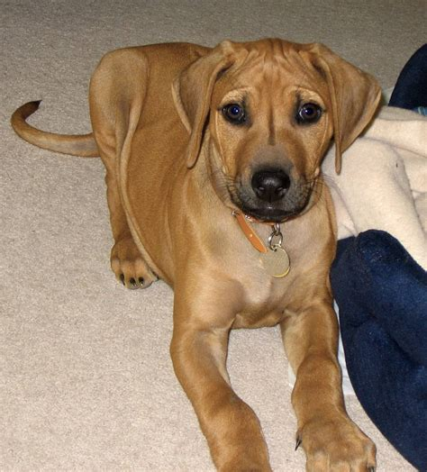 rhodesian ridgeback mix puppies for sale lab rhodesian ridgeback mix puppies for sale breeds picture