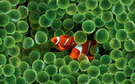 wallpaper iphone fish clown fish iphone wallpapers and images wallpapers