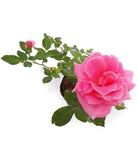 Tempat Jual Bibit Bunga jual bibit bunga mawar pink rosa felicia mulya jaya