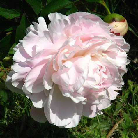 growing gorgeous peonies