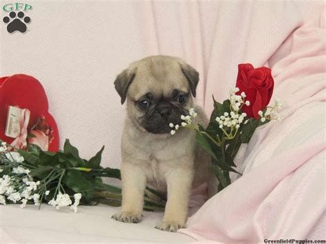 pug puppies for sale in pa samson a sweet pug puppy for sale in ronks pa puppies for sale ronks