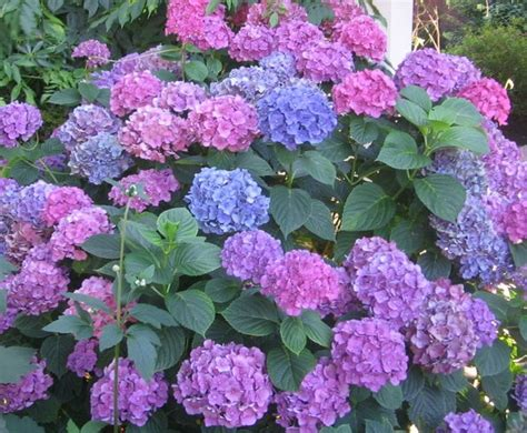 flowering shrubs that bloom all summer trees and shrubs for late summer flowers reflections