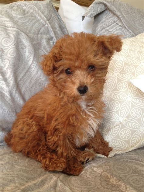 how much are yorkie poo puppies best 25 yorkie poo puppies ideas on yorki poo yorkie poodle and yorkie