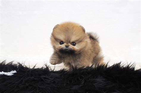 baby doll pomeranian 17 best images about teacup pomeranian on coats canada and dubai