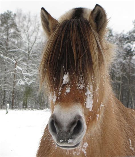 fjord horse facts 145 best fjord horses images on pinterest fjord horse