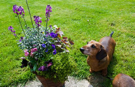 poison for dogs the 11 most poisonous plants for dogs rover