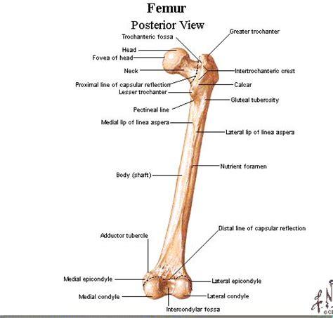 femur diagram labeled bony landmarks of the femur posterior view anatomy