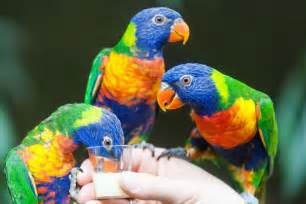 Dove Barn Rainbow Lorikeet Diet Habitat Amp Reproduction Nsw