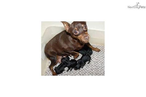 teacup miniature pinscher puppies for sale meet tennie a miniature pinscher puppy for sale for 450 akc quot teacup teenie