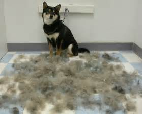 low shedding medium large breeds kingsbrook animal