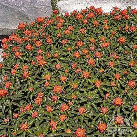 plant profile for euphorbia griffithii dixter griffith