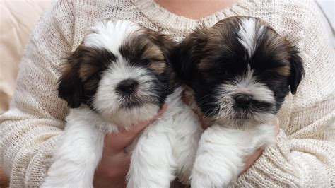 shih tzu 4 sale shih tzu puppies for sale sunderland tyne and wear pets4homes