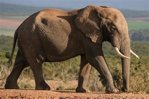 african elephant facts what are your favorite animals page 13 general