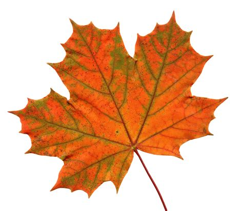 Maple Leaf maple leaf png www pixshark images galleries with