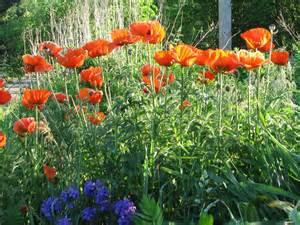 papaver orientale oriental poppy plant care guide