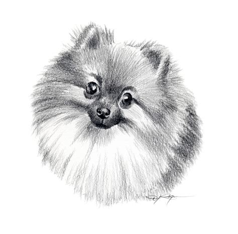 pomeranian drawing how to draw pomeranians