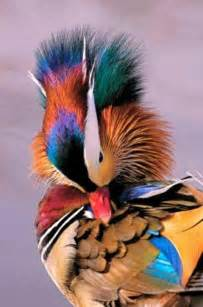 colorful ducks top 10 colorful birds around the world most