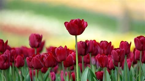 red nature mobile wallpaper red tulips field nature hd