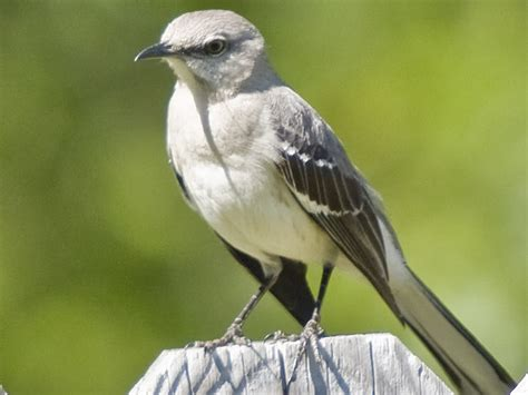 best 28 facts about mockingbird northern mockingbird