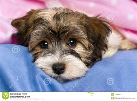 free havanese tricolor havanese puppy is lying in a bed royalty free stock photography