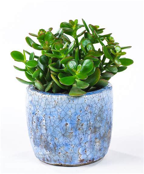 Indoor Plants No Sun buy house plants now jade plant minor bakker com