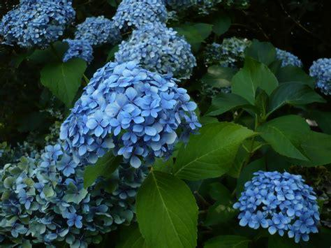 list of blue flowers names 3 desktop background hdflowerwallpaper com