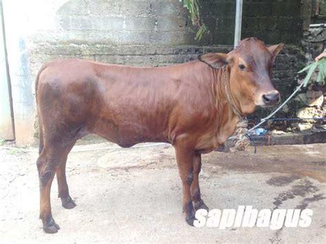Bibit Sapi Di Bengkulu bibit sapi potong sapibagus