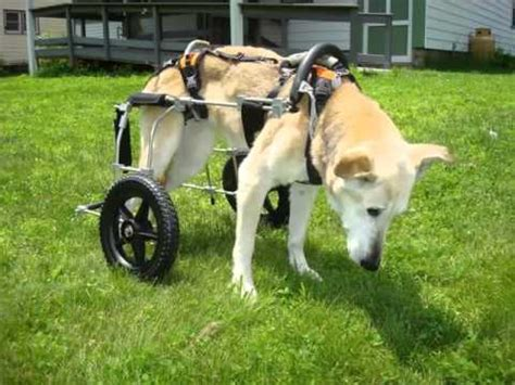dogs back legs not working wheelchair for back legs set of picture collection ideas wheelchair for back