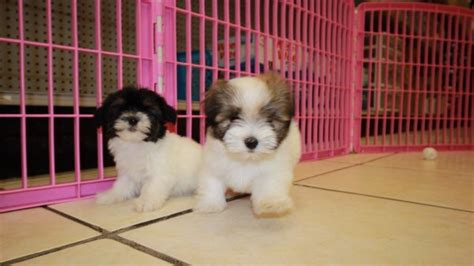 havanese puppies for sale in atlanta ga adorable havanese puppies for sale local breeders near atlanta ga at