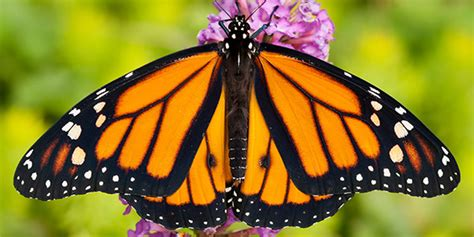 The Monarch Butterfly monarch butterfly national wildlife federation
