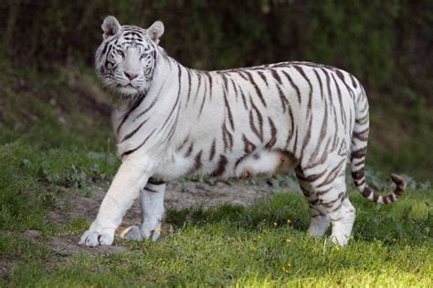 White Tiger L by Related Keywords Suggestions For White Tiger