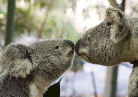 Beras Anak Lanang koala