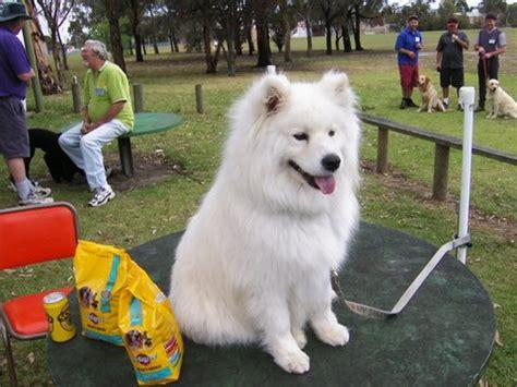 Do Samoyed Dogs Shed by Image Gallery Samoyed Shedding