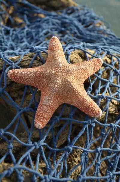 Starfish   dried starfish, starfish for sale, sugar