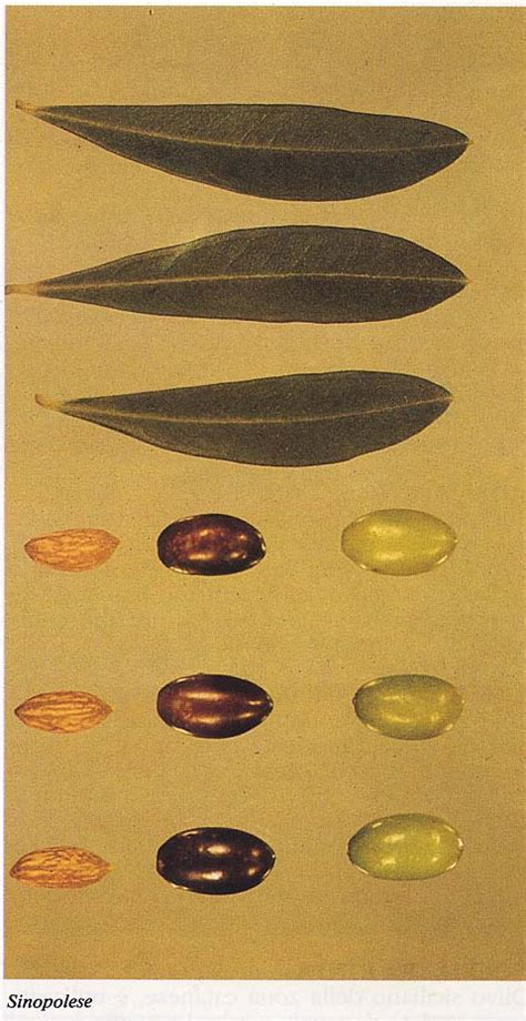 variet di olive da tavola oliveoil conoscere l extravergine l oliveto e l oliva