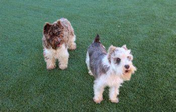 puppies chattanooga nexgen lawns artificial grass chattanooga artificial turf in tn