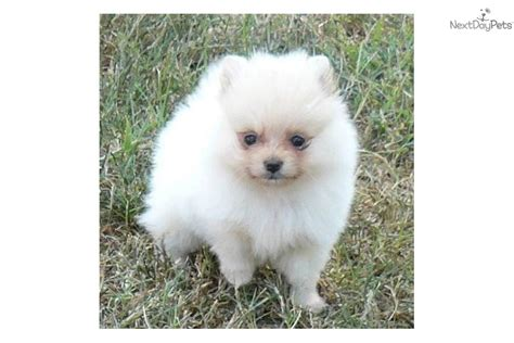 pomeranian grown grown white pomeranian